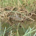 Croc Found in Texas River